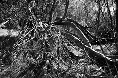 Astgeflecht 2 (Lichtabfall) Tags: branches ste trees tree baum einfarbig blackwhite blackandwhite monochrome schwarzweiss buesenbachtal bsenbachtal wrme handelohwrme ast branch wacholder juniper