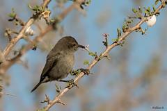 Palestine sunbird (Dave 5533) Tags: palestinesunbird songbird wild nature animal naturephotography wildlife canoneos7dmarkii sigma150600mmf563dgoshsm|s coth