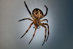 Cross Spider Quarter Profile (Michelle de Vries) Tags: orbweaver spider araneusdiadematus macro web vancouverisland britishcolumbia cross