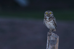 Burrowing Owls (Peter Stahl Photography) Tags: burrowingowl owl evening sunset mendozaargentina mendoza wine melbac