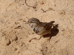 sparrow (piranhabros) Tags: sparrow maui hawaii bird animal kapalua