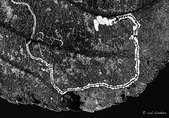 The Journey (Rob Blanken) Tags: leafminer tunnel leaf road journey bw