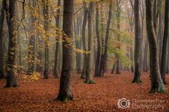 Misty Beeches - Aldershot (Christopher Pope Photography) Tags: beechtrees autumn beeches aldershot woods hampshire aldersot trees christopherpopechristopherpopephotography woodlands seasons