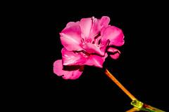 Oleander flower (Akhil Sanjeev) Tags: oleander nerium flower dof rose bright
