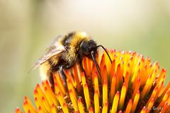 Hummel 23 (rgr_944) Tags: bienenhummelnwespen hummeln bumblebee bourdon insekten macro natur tiere outdoor canoneos60deos70deos80d rgr944 pflanzen blumen