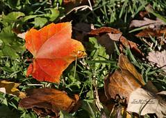 Fall Fallen (f4fwildcat...Tom Andrews Photography) Tags: prairiefall swansonpark wichita kansas f4fwildcat tom andrews photography