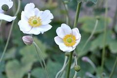 Japanische Herbstanemonen (ivlys) Tags: rheingau schlossvollrads blumen flowers nature japanischeherbstanemone anemonejaponica blte blossom ivlys