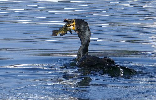 Phalacrocorax carbo, Cormoran poisson-chat_8