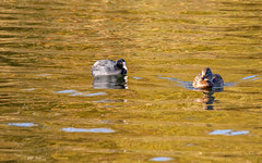 On Golden Pond (Beth Hartle Photographs2013) Tags: rivernene nenepark coot mallard