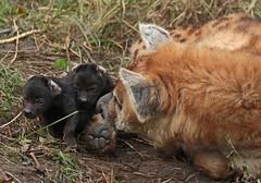 spotted hyena Blijdorp JN6A2992 (j.a.kok) Tags: hyena spottedhyena gevlektehyena crocutacrocuta blijdorp zoogdier mammal kira predator afrika africa