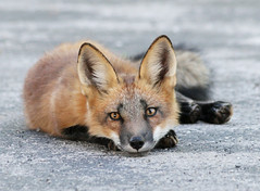 Think Hard (marylee.agnew) Tags: red fox canine kit city urban young thinking wildife nature predator