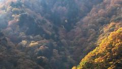 Falling in Heaven (jasohill) Tags: autumn october color tohoku vibrant city 2016 akita trees adventure travel photography life colors hachimantai landscape japan nature canoneos80d