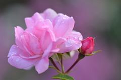 After the rain (dfromonteil) Tags: fleur flower rose blossom dew droplets gouttes rose matin morning light lumire plant plante vegetal macro bokeh nature bud pink