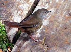 Hungry bird (LeelooDallas) Tags: australia tasmania cradle mountain landscape dana iwachow fuji finepix hs20 exr montezuma falls waterfall rosebery tree forest
