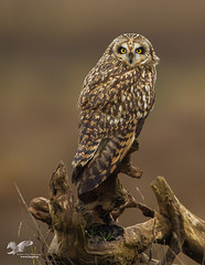 Wall Hanger (Short-Eared Owl) (The Owl Man) Tags:
