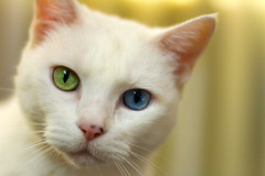 Hypnotic (suzeesusie) Tags: cat cats gato gatto chat katze whitecat white oddeyes oddeyed freckles face closeup whiskers furry adopted rescue portrait cute animal pet indoors