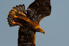 Morning Glow... (ThruKurtsLens.com (Kurt Wecker)) Tags: 2016 baldeagle eagle fallcolors fish flying kurtwecker nature naturephotographer talons thrukurtslenscom wildlifephotographer wildlifephotography