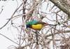 Regal Sunbird (Laura Erickson) Tags: africa uganda birds species passeriformes nectariniidae regalsunbird places volcanoesgahingasafarilodge cinnyrisregius