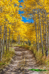 Autumn on Medano Pass (Tony Baca Photography) Tags: autumn gold leaves trail jeeptrail medanopass aspengrove colorfulcolorado colorado coloradophotography coloradophotographer photography landscape coloradolandscape trees aspentrees rockymountains