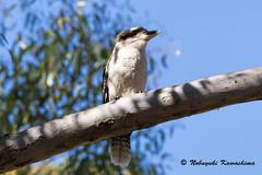 Kookaburra (Silveryway) Tags: kookaburra bird
