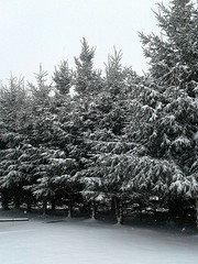 December 5th, 2016 Snow 005 (Chrisser) Tags: weather snow trees spruce nature ontario canada samsunggalaxytabebackcamera