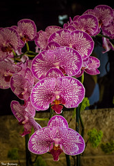 Echelon - Explored (Thad Zajdowicz) Tags: flower orchid tropical bloom blossom color vivid vibrant purple colour nature flora plant epiphyte 366 365 sanmarino california zajdowicz canon eos 5d3 5dmarkiii dslr digital lightroom indoor inside 50mm primelens ef50mmf12lusm bokeh depthoffield closeup