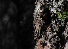 Carpintero negro, Campephilus magellanicus (SebastianSaiter) Tags: carpinteronegro campephilusmagellanicus