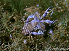 Dhofar Toad (tinlight7) Tags: toad dhofartoad swimming pond water wadinakhor jebelshams hajarmountains oman amphibian taxonomy:kingdom=animalia animalia taxonomy:phylum=chordata chordata taxonomy:subphylum=vertebrata vertebrata taxonomy:class=amphibia amphibia taxonomy:order=anura anura taxonomy:family=bufonidae bufonidae taxonomy:genus=duttaphrynus duttaphrynus taxonomy:species=dhufarensis taxonomy:binomial=duttaphrynusdhufarensis duttaphrynusdhufarensis taxonomy:common=dhofartoad