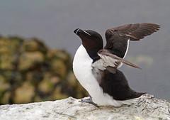 Razorbill (Alca torda), Isle of May NNR (Niall Corbet) Tags: scotland fife seabird razorbill firthofforth isleofmay alcatorda nnr nationalnaturereserve