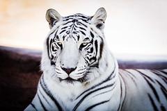 _1TT1442 (Tom Traylor) Tags: africa park camp verde nature phoenix animal out nikon wildlife tiger lion 300mm safari closeups f28 bigcats whitetiger nikond810