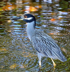 Yellow-Crowned Night Heron (Nyctanassa violacea) (ACEZandEIGHTZ) Tags: heron saltmarsh mangrove florida miami bird americannightheron aves squawk pelecaniformes chordata neognathae neoaves neornithes wildlifenorthamerica ngc npc birds birding allnaturesparadise babirdsandanimals bnbeautifulnature flickrnature beautifulshot fantasticnaturegroup photographyforrecreation intouchwithnature nikon d3200 bornforfly amazingimpressionsofnature birdwatcher