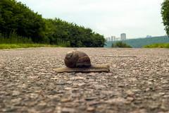 Snail (arthur_streltsov) Tags: road park nature beauty animals vintage landscape 50mm russia bokeh moscow sony snail m42 ddr manualfocus carlzeissjena manuallens pancolar krylatskoe moscowparks germanlens naturewatcher