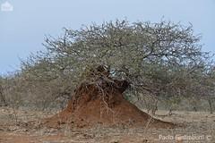 termitaio, termitary (paolo.gislimberti) Tags: trees alberi southafrica landscapes bush savannah paesaggi animalarchitecture sudafrica savana krugernp boscaglia parcokruger africanlandscapes paesaggiafricani architettutaanimale