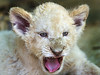 White lion cub yawning (Tambako the Jaguar) Tags: wild portrait baby white cute face tongue female cat southafrica cub big nikon lion young adorable openmouth johannesburg lionpark yawning d800