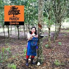 Parich in Rubber Tree
