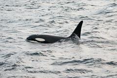 Orca swimming close