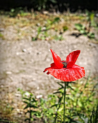 2015-07-01_13-12-43 (torstenbehrens) Tags: olympus ep5 sigma 60mm f28 dn pen flower red bokeh nature digital camera flora natur on1 on1pic