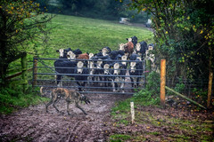There's a Tiger!  316/365 (rmrayner) Tags: autumn field rain rural fence countryside gate cattle cows farming devon hedge hdr calves ohmy lurcher herefords day316 365project ortoneffect 316365 365the2015edition calveswatchingalurcher stripylurcher
