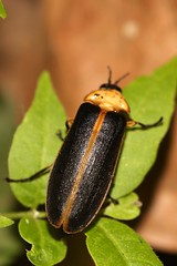 Glow worm (mgrimm82) Tags: lampyridae taxonomy:kingdom=animalia animalia taxonomy:phylum=arthropoda arthropoda taxonomy:subphylum=hexapoda hexapoda taxonomy:class=insecta insecta taxonomy:subclass=pterygota pterygota taxonomy:order=coleoptera coleoptera taxonomy:suborder=polyphaga polyphaga taxonomy:infraorder=elateriformia elateriformia taxonomy:superfamily=elateroidea elateroidea taxonomy:family=lampyridae  fireflies lightningbugs fireflybeetles lucirnagas  taxonomy:common= taxonomy:common=fireflies taxonomy:common=lightningbugs taxonomy:common=fireflybeetles taxonomy:common=lucirnagas taxonomy:common= inaturalist:observation=2259958 leuchtkfer glhwrmchen firefly