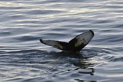 _GRL0690 (TC Yuen) Tags: glacier arctic greenland whales iceberg crusing floatingice polarregion greenlandeast