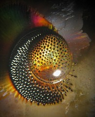 Hedgehog Egg (Sea Moon) Tags: macro points droplet abstraction prickly magnetism glycerine ferrofluid bioform