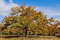 chestnut trees in Penela da Beira (Gail at Large | Image Legacy) Tags: portugal viseu 2015 gailatlargecom peneladabeira