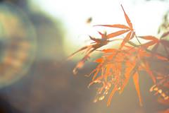 Worn (reclaimednj) Tags: tree nj japanesemaple lensflare 2015 vsco