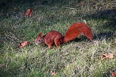 Eichhörnchen (Jonny__B_Kirchhain) Tags: berlin animal germany mammal deutschland squirrel alemania allemagne esquilo animale germania alemanha tier ardilla neukölln eichhörnchen mammifère scoiattolo écureuil mammalian 动物 德國 mamífero sciurusvulgaris hörnchen eichkätzchen 松鼠 sciuridae säugetier eichkatzerl gropiusstadt berlinneukölln niemcy sciurus mammifero зверь sciurinae eurasianredsquirrel животное германия республика 德意志 baumhörnchen europäischeseichhörnchen eichkater wiewiórkaruda wiewiórkapospolita sciuromorpha 兽 hörnchenverwandte 哺乳动物 republikafederalnaniemiec gleithörnchen sciurini бе́лка katteker repúblicafederaldaalemanha 哺乳类动物 федеративная бе́лочка