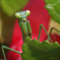Praying Mantid (OzzRod) Tags: macro square pentax insects prayingmantis mantid prayingmantid k5iis czjbiotar58cmf2 pentaxsingleindecember2015