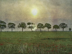 Trees. (Bessula) Tags: trees sun texture nature field grass landscape scenic creation poppies bessula saariysqualitypictures