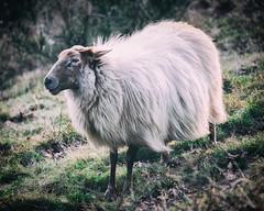 Sheep in the wind (PascallacsaP) Tags: green wool netherlands grass long sheep limburg bemelen mergellandschaap