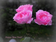 Happy New Year! (Stella VM) Tags: pink flowers roses flower rose garden softness bulgaria happynewyear pinkrose bulgarian  pinkroses