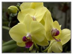 Purple  Hearts (Audrey A Jackson) Tags: canon60d flower nature orchid colour petals macro closeup yellow purple 1001nightsmagiccity