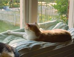 Otis just taking it all in (rootcrop54) Tags: cat macska kedi  koka kissa  kttur kucing gatto  kais kat katt katzen kot  maka maek kitteh chat  otis orange ginger dilute male tabby window lounging